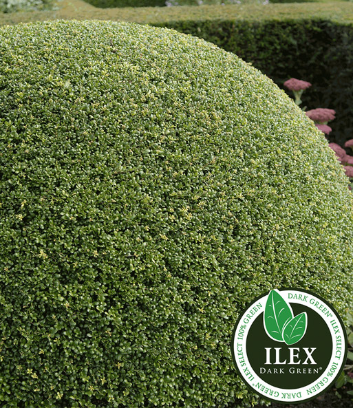 Ilex struik 'Dark Green®'