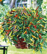 Hangchili 'Volante Hot Red'