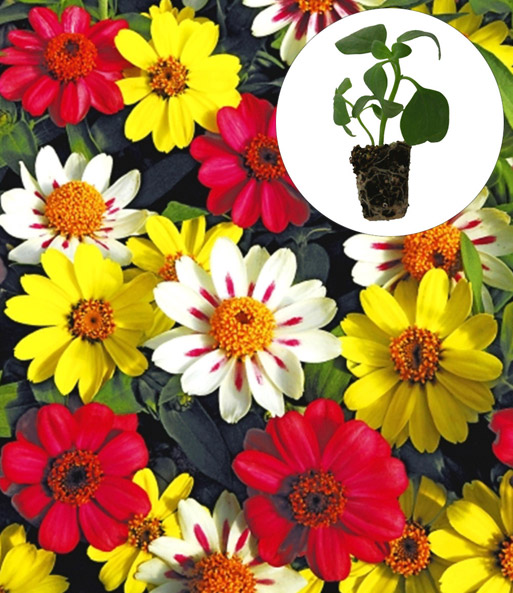 Zinnia 'Zahara®' F1 'Raspberry Lemonade Mix'
