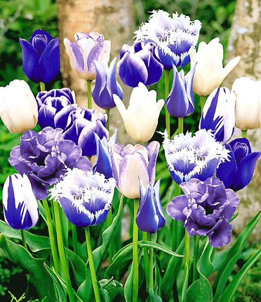 tulpenmix 39 blue blend 39 tulpen bij baldur nederland. Black Bedroom Furniture Sets. Home Design Ideas