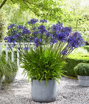 Agapanthus 'Sunfield'