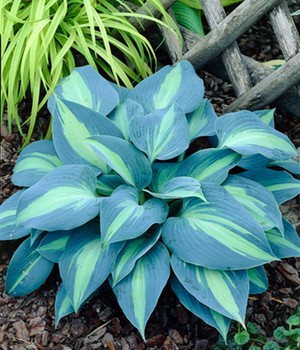Slakken-resistente Hosta 'Touch of Class'