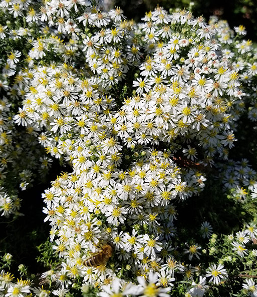 Steenaster 'Snowflurry'