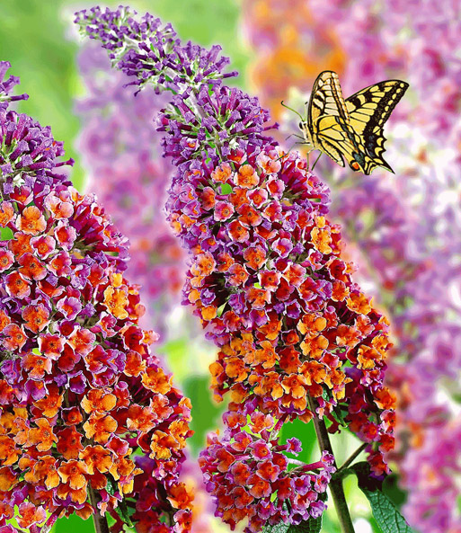 GRATIS Buddleia 'Flower Power'
