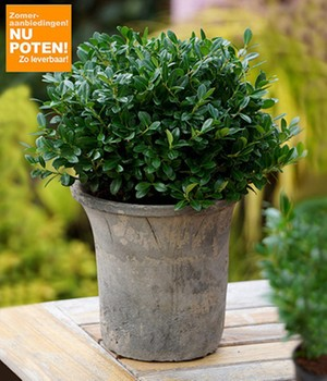 Maori® Sophora Cotoneaster 'Little Baby'