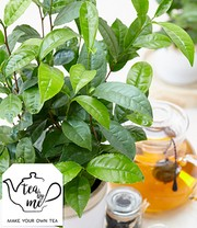 Winterharde theeplant 'Tea by me®'
