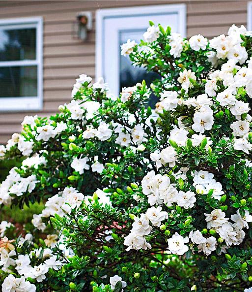 kaapse jasmijn 39 crown jewel 39 bloeiende struiken bij baldur nederland. Black Bedroom Furniture Sets. Home Design Ideas