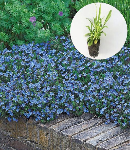 lithodora 39 heavenly blue 39 perkplanten bij baldur nederland. Black Bedroom Furniture Sets. Home Design Ideas