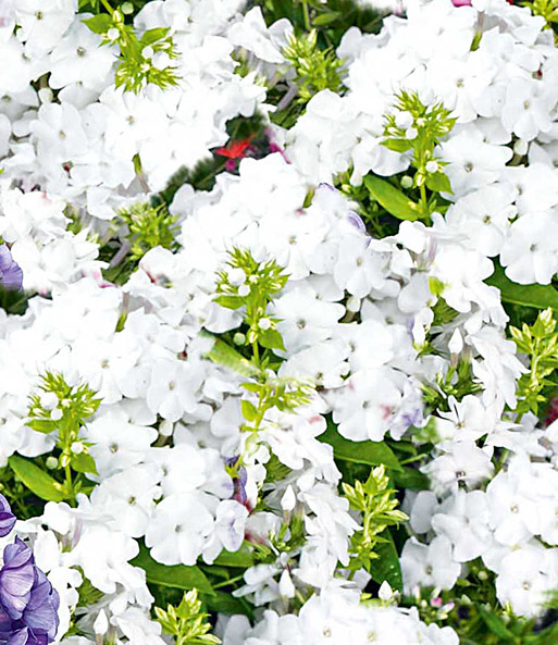 Geurende Phlox collectie