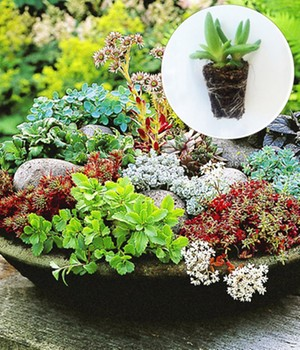 Winterharde sedum Mix