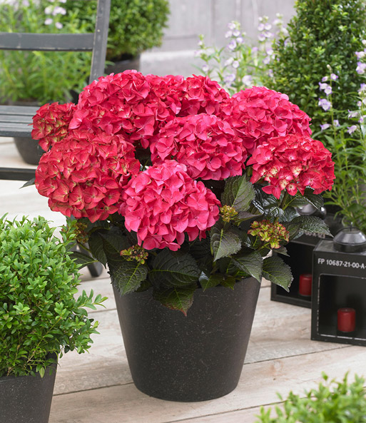 Tuinhortensia Black Diamonds® 'Red Angel'