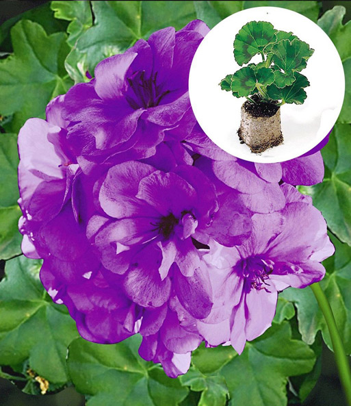 Collectie: Geranium 'Blue Sybil®' PAC® + Witte Bacopa 'Big Baja'