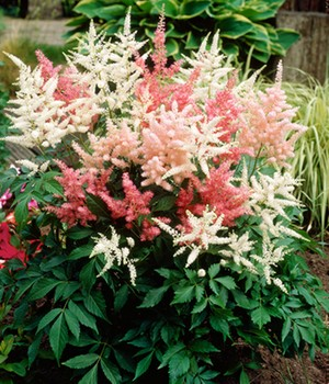 Pluimspirea mix 'Roze & Wit'