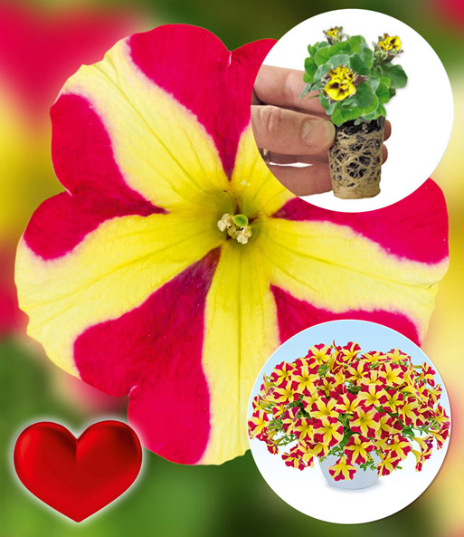 Petunia 'Amore® Queen of Hearts'