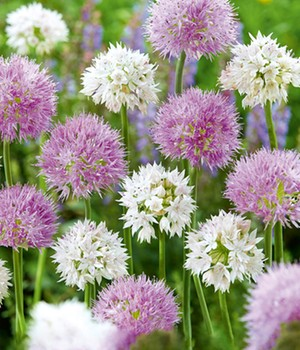 Allium Mix 'Beautiful Rosy'