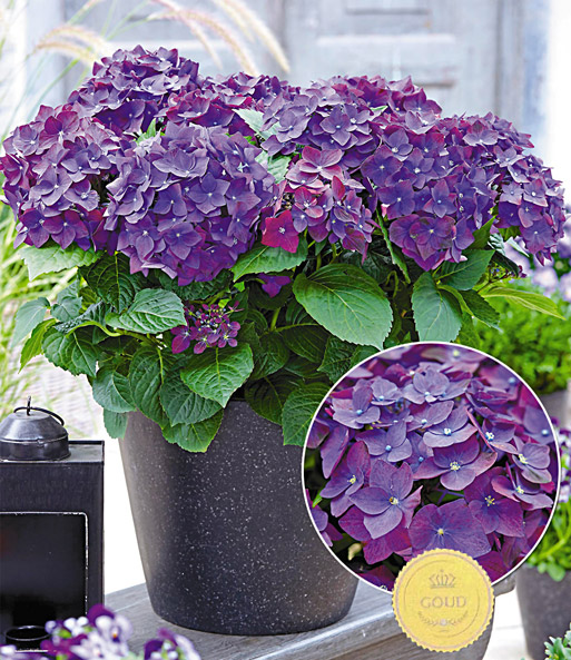 Tuinhortensia 'Deep Purple'
