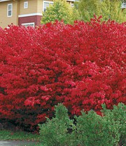 Euyonimus Compact 'Burning Bush'