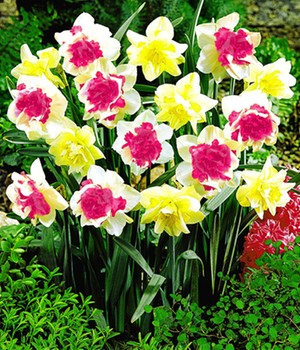 Narcis 'Double duo mix'