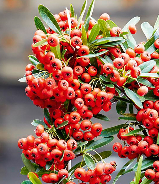 Pyracantha 'Red Star®'1 plant