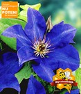 Blauwe clematis 'The President'