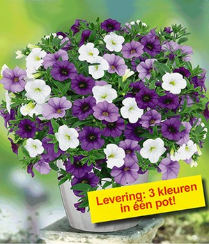 Calibrachoa-Mix Trixi® 'Shades of Blue'