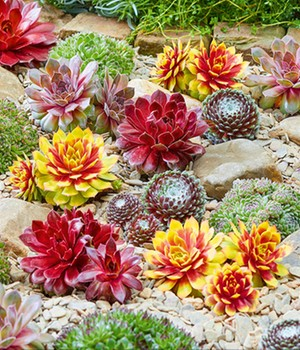 Sempervivum-mix 'Chick Charms®' met 2 Gold Nugget