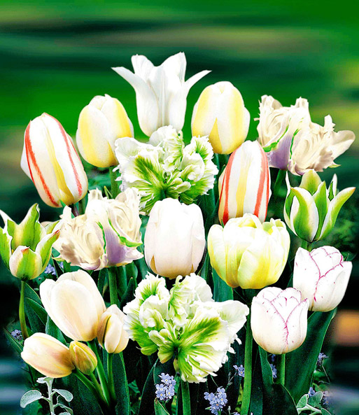 Tulpen Mix 'Perfect Partners®' 'White Blend'