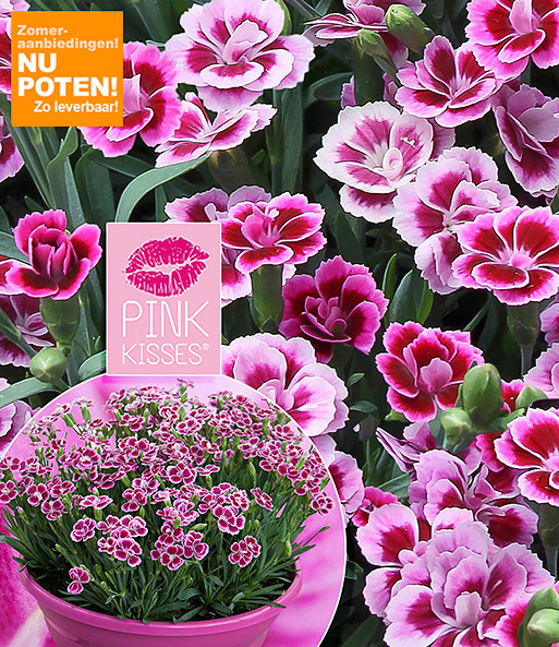 Winterharde Tuinanjers 'Pink Kisses®'