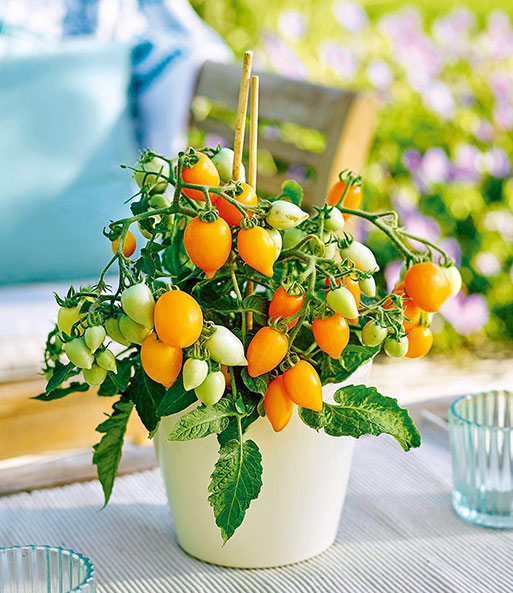 Lage pottomaten 'Funnyplums®' Golden Orange F1