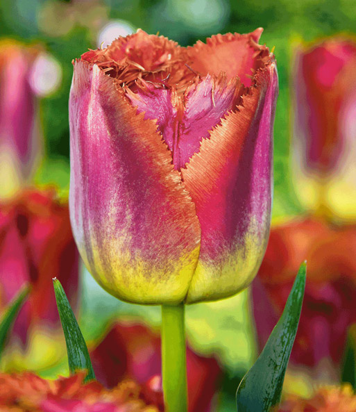 Tulp 'Sunset Miami'