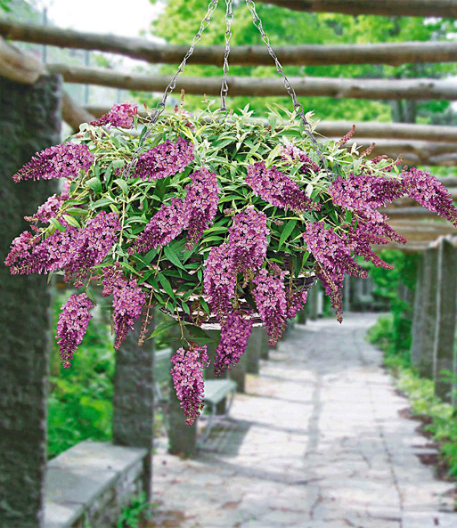 Hangende Buddleia 'Weeping Purple'