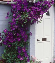 Clematis 'The President®'