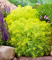 Sedum Sunsparkler® 'Angelina's Teacup'