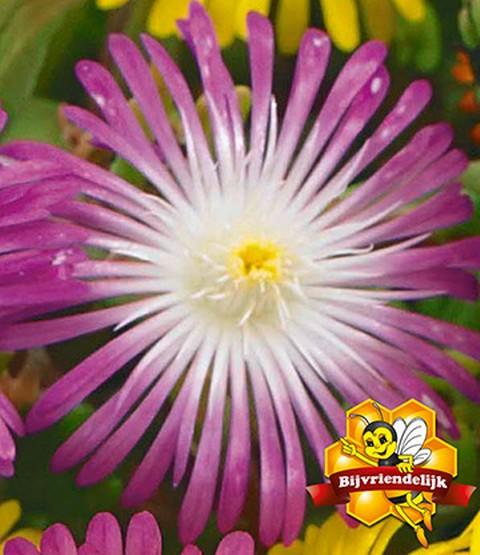 winterharte eisblume violette star 1a pflanzen baldur garten. Black Bedroom Furniture Sets. Home Design Ideas