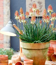 Aloe 'Safari Sunrise'