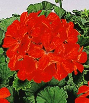 Tiroolse Hanggeraniums 'Vuurrood'
