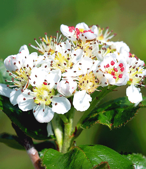 Vitaminebes 'Aronia Viking'