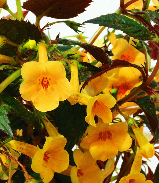 Achimenes 'Yellow Beauty'