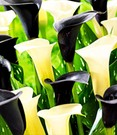 Calla Mix 'Piano Man'