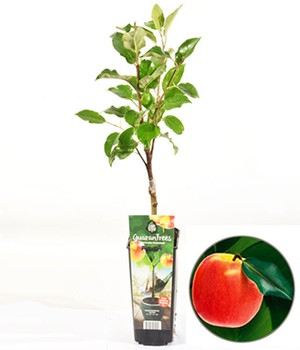 Guaran Trees® Appel 'Elstar'