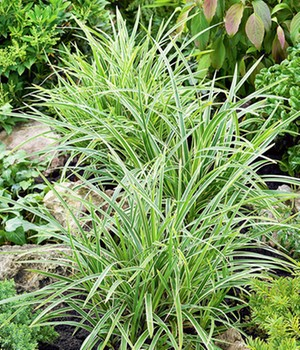 Carex 'Ice Dance' 12 cm-pot