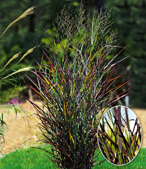 Panicum 'Hot Rod'