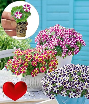 Collectie Petunia 'Amore®'