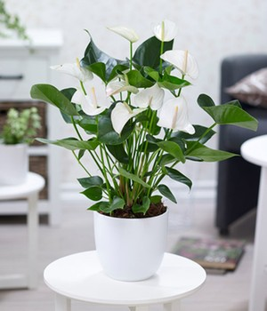 Anthurium 'wit'