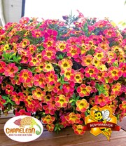 Calibrachoa 'Chameleon Sunshine Berry'