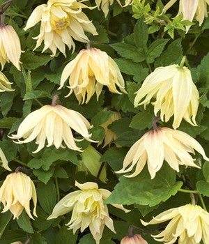 Clematis 'Amber',1 plant
