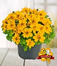 Bidens 'Yellow Sunshine®'