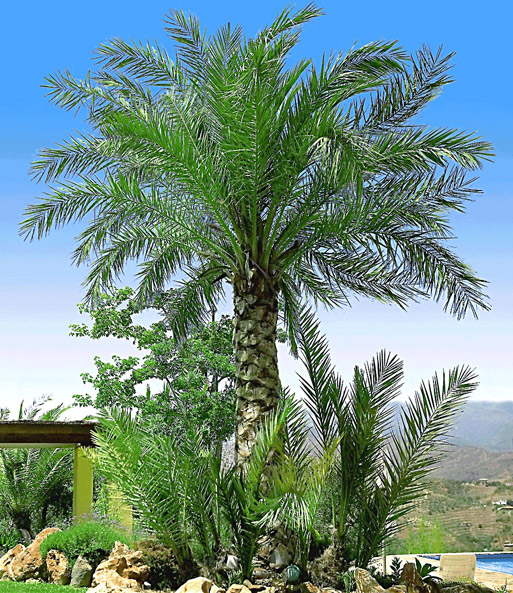 Chileense honing-palm
