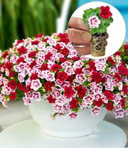 Calibrachoa Mix 'Double PinkTastic® & Double Red®'
