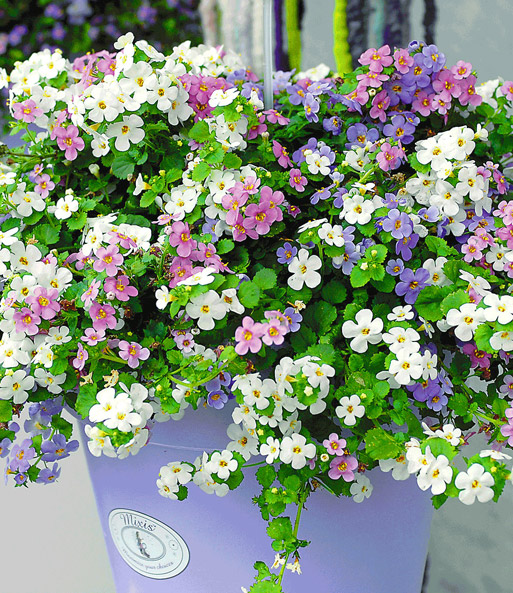 Bacopa Mix 'Taifun'